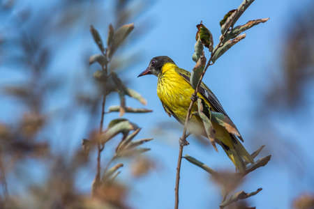 African Black headed Oriole juvenile standing on a branch in Kruger National park, South Africa; Specie Oriolus larvatus family of Oriolidae; oriole; 免版税图像