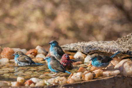 Blue-breasted Cordonbleu and Jameson Firefinch bathing in waterhole in Kruger National park, South Africa; Specie Uraeginthus angolensis and Lagonosticta rhodopareia family of Estrildidae