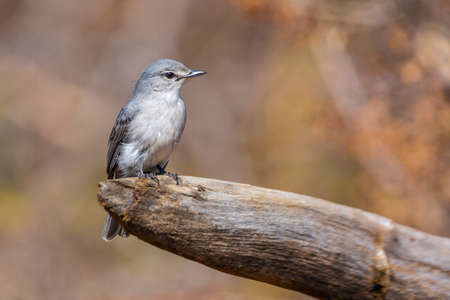 Ashy Flycatcher standing on a log with natural background in Kruger National park, South Africa; Specie Muscicapa caerulescens family of Musicapidae