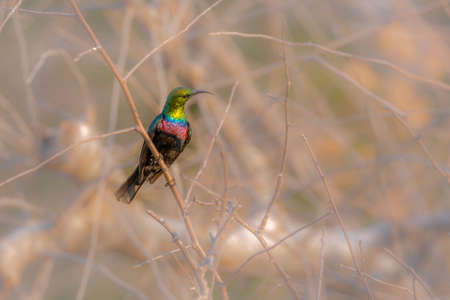 Mariqua Sunbird standing in the bush in Kruger National park, South Africa; Specie Cinnyris mariquensis family of Nectariniidae 免版税图像