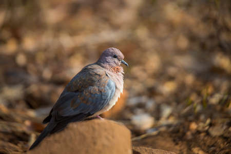 Laughing Dove standing on plot with natural background in Kruger National park, South Africa; Specie Streptopelia senegalensis family of Columbidae 免版税图像