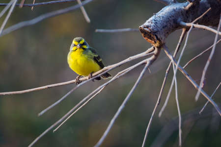 Yellow fronted Canary standing on a branch with natural backgrounc in Kruger National park, South Africa; Specie Crithagra mozambica family of Fringillidae 免版税图像