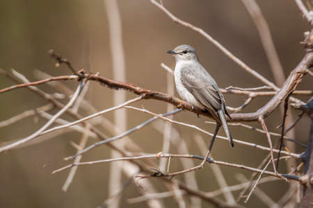 Ashy Flycatcher standing on a branch in Kruger National park, South Africa; Specie Muscicapa caerulescens family of Musicapidae
