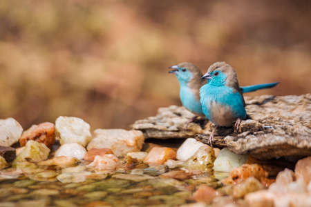 Two Blue-breasted Cordonbleu standing at waterhole in Kruger National park, South Africa; Specie Uraeginthus angolensis family of Estrildidae