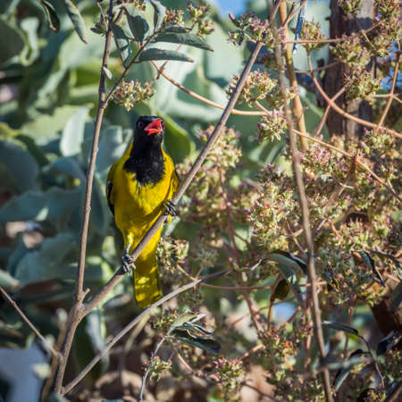 African Black headed Oriole singing in the bush in Kruger National park, South Africa; Specie Oriolus larvatus family of Oriolidae; oriole;