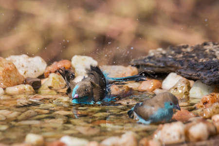 Two Blue-breasted Cordonbleu bathing in waterhole in Kruger National park, South Africa; Specie Uraeginthus angolensis family of Estrildidae
