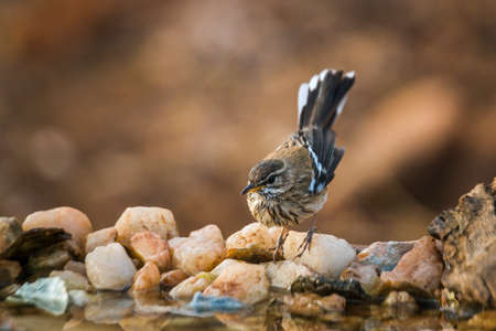 Red backed Scrub Robin standing at waterhole in Kruger National park, South Africa; specie Cercotrichas leucophrys family of Musicapidae