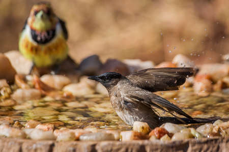 Dark capped Bulbul bathing in waterhole in Kruger National park, South Africa; Specie Pycnonotus tricolor family of Pycnonotidae