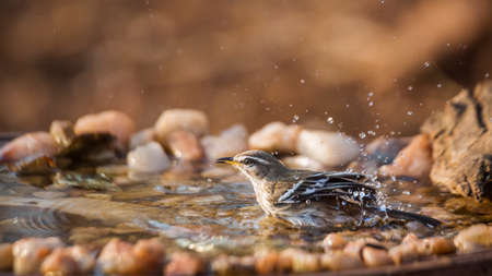Red backed Scrub Robin bathing in waterhole in Kruger National park, South Africa; specie Cercotrichas leucophrys family of Musicapidae