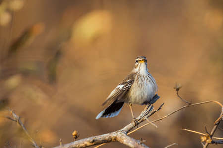 Red backed Scrub Robin singing in morning light in Kruger National park, South Africa; specie Cercotrichas leucophrys family of Musicapidae 免版税图像