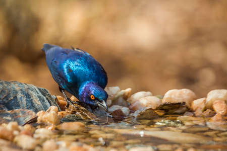 Greater Blue-eared Glossy Starling drinking at waterhole in Kruger National park, South Africa; Specie Lamprotornis chalybaeus family of Sturnidae
