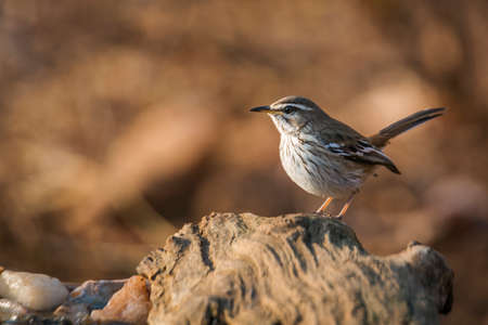 Red backed Scrub Robin standing on a log with morning light in Kruger National park, South Africa; specie Cercotrichas leucophrys family of Musicapidae