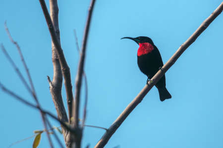Scarlet chested Sunbird isolated in blue sky in Kruger National park, South Africa; Specie Chalcomitra senegalensis family of Nectariniidae