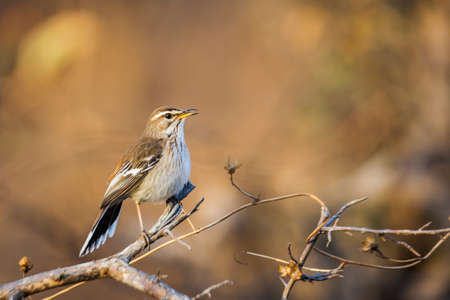 Red backed Scrub Robin singing in morning light in Kruger National park, South Africa; specie Cercotrichas leucophrys family of Musicapidae Banque d'images