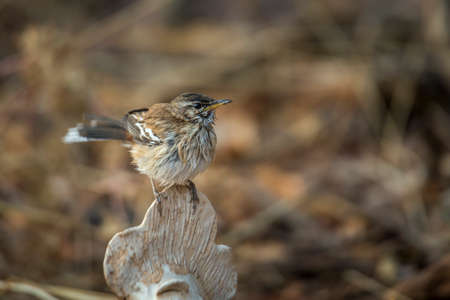 Red backed Scrub Robin with wet feather after bath in Kruger National park, South Africa; specie Cercotrichas leucophrys family of Musicapidae