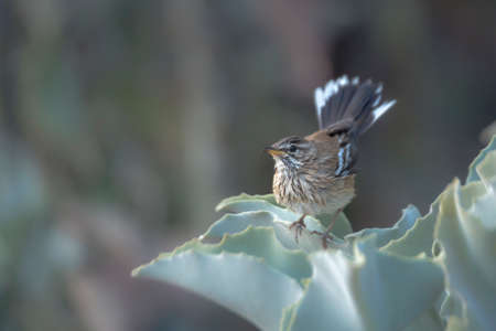 Red backed Scrub Robin standing in plant leaves in Kruger National park, South Africa; specie Cercotrichas leucophrys family of Musicapidae
