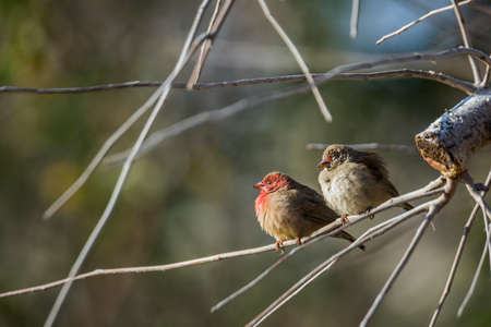 Red-billed Firefinch couple standing on a branch in Kruger National park, South Africa; Specie family Lagonosticta senegala of Estrildidae