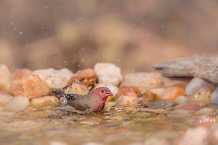 Red-billed Firefinch male bathing in waterhole in Kruger National park, South Africa; Specie family Lagonosticta senegala of Estrildidae 免版税图像