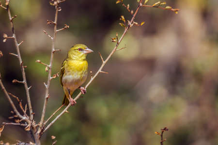 Village weaver standing on a shrub in front view in Kruger National park, South Africa; Specie Ploceus cucullatus family of Ploceidae