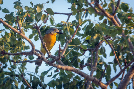 Gray headed Bushshrike standing in foliage in Kruger National park, South Africa; Specie Malaconotus blanchoti family of Malaconotidae 免版税图像
