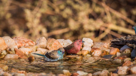 Jameson Firefinch and Blue-breasted Cordonbleu bathing in waterhole in Kruger National park, South Africa; Specie Lagonosticta rhodopareia and Uraeginthus angolensis family of Estrildidae