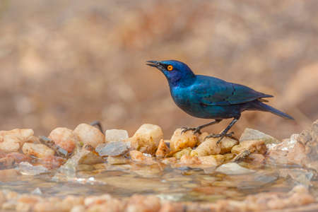Cape Glossy Starling standing at waterhole with natural background in Kruger National park, South Africa; Specie Lamprotornis nitens family of Sturnidae 免版税图像
