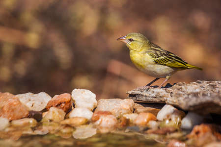 Village weaver standing at waterhole in Kruger National park, South Africa; Specie Ploceus cucullatus family of Ploceidae 免版税图像