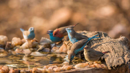 Blue-breasted Cordonbleu and Red billed Firefinch drinking in waterhole in Kruger National park, South Africa; Specie Uraeginthus angolensis and Lagonosticta senegala family of Estrildidae 免版税图像