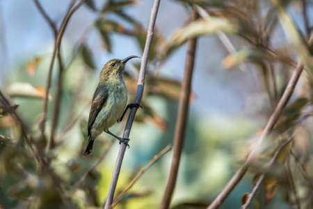 Scarlet chested Sunbird female in a shrub in Kruger National park, South Africa; Specie Chalcomitra senegalensis family of Nectariniidae 免版税图像