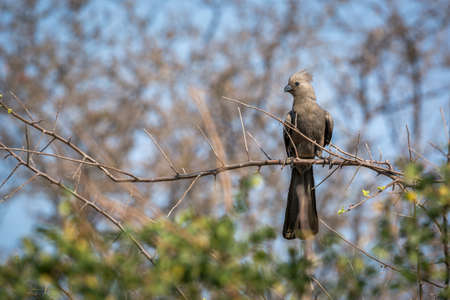 Gray go away bird standing on a branch with natural background in Kruger National park, South Africa; Specie Corythaixoides concolor family of Musophagidae