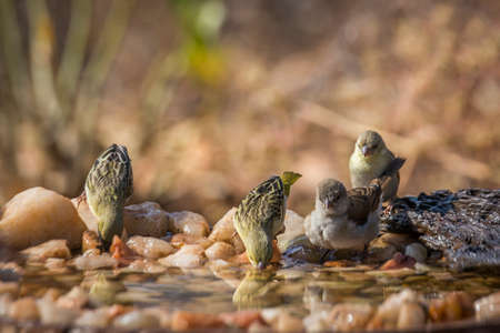 Southern Gray headed Sparrow and Village weave bathing in waterhole in Kruger national park; Specie Passer diffusus and Ploceus cucullatus 免版税图像