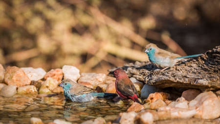 Jameson Firefinch and Blue-breasted bathing in waterhole in Kruger National park, South Africa; Specie Lagonosticta rhodopareia and Uraeginthus angolensis family of Estrildidae