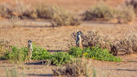 Two Meerkat standing in alert in Kgalagadi transfrontier park, South Africa; specie Suricata suricatta family of Herpestidae Stok Fotoğraf
