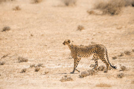 Cheetah walking in the sand in Kgalagari transfrontier park, South Africa; specie family of Stok Fotoğraf