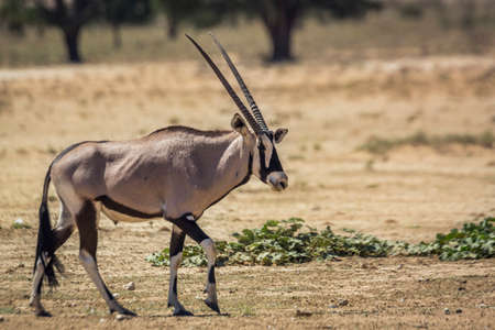 South African Oryx walking side view in dry land in Kgalagadi transfrontier park, South Africa; specie Oryx gazella family of Bovidae Stok Fotoğraf