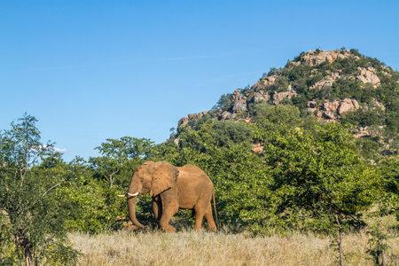 African bush elephant walking in boulder scenery in Kruger National park, South Africa; Specie Loxodonta africana family of Elephantidae Stok Fotoğraf