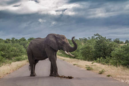 African bush elephant in middle of safari road in Kruger National park, South Africa; Specie Loxodonta africana family of Elephantidae