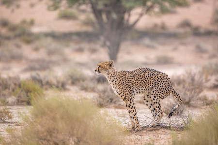 Cheetah dropping in Kgalagadi transfrontier park, South Africa; Specie Acinonyx jubatus family of Felidae