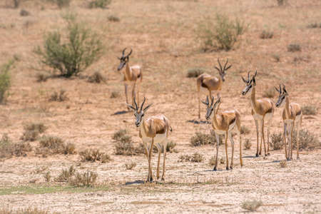 Small group of Springbok walking in front view in dry land in Kgalagari transfrontier park, South Africa; specie Antidorcas marsupialis family of Bovidae