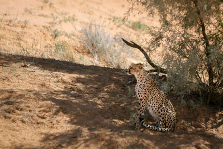 Cheetah in alert sitted in tree shadow in Kgalagari transfrontier park, South Africa; specie family of