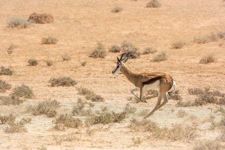 Springbok in Kgalagari transfrontier park, South Africa; specie Antidorcas marsupialis family of Bovidae