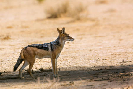 Black backed jackal standing in dry shadow in desert land in Kgalagadi transfrontier park, South Africa; Specie Canis mesomelas family of Canidae Stok Fotoğraf