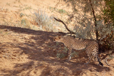 Cheetah in alert hidding with tree shadow in Kgalagari transfrontier park, South Africa; specie family of