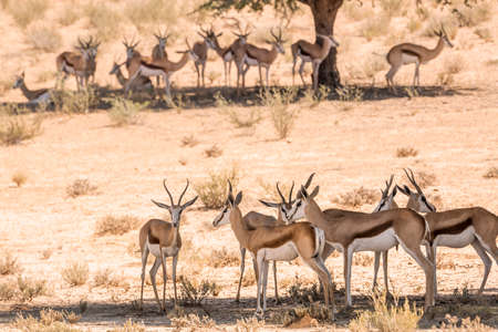 Small group of Springbok standing in tree shadow in Kgalagari transfrontier park, South Africa; specie Antidorcas marsupialis family of Bovidae