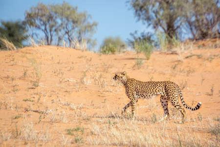 Cheetah walking side view in sand dune in Kgalagadi transfrontier park, South Africa; Specie Acinonyx jubatus family of Felidae Stok Fotoğraf