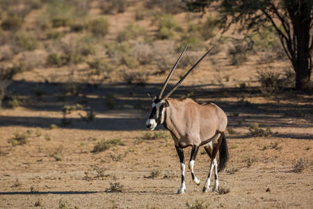 South African Oryx walking front view in dry land in Kgalagadi transfrontier park, South Africa; specie Oryx gazella family of Bovidae