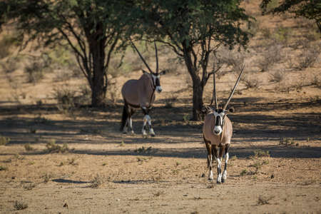 Two South African Oryx walking in dry land in Kgalagadi transfrontier park, South Africa; specie Oryx gazella family of Bovidae Stok Fotoğraf