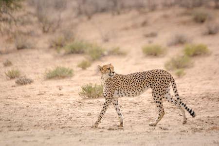Cheetah walking side view in dry land in Kgalagadi transfrontier park, South Africa; Specie Acinonyx jubatus family of Felidae Stok Fotoğraf
