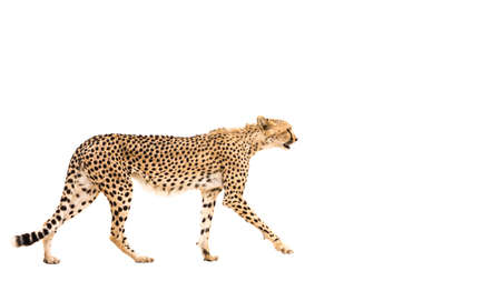 Cheetah walking isolated in white background in Kgalagadi transfrontier park, South Africa; Specie Acinonyx jubatus family of Felidae