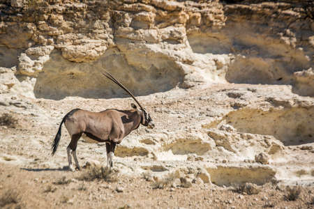 South African Oryx standing in rocky desert in Kgalagadi transfrontier park, South Africa; specie Oryx gazella family of Bovidae Stok Fotoğraf